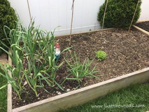garlic-plants, how to grow gardlic, gardening with kids